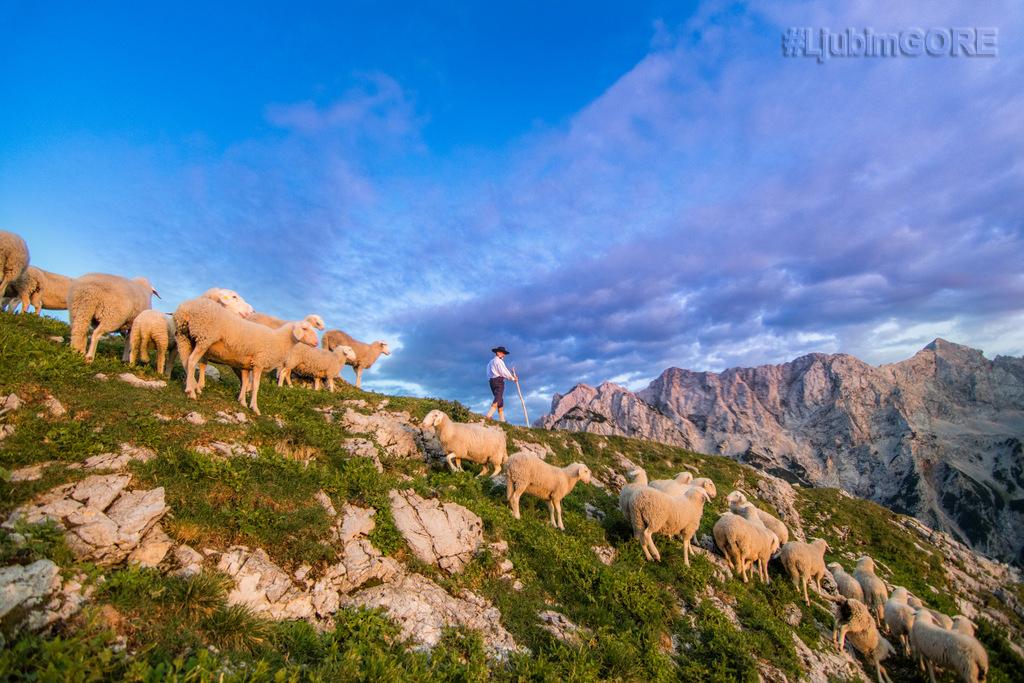 ljubim_gore_pastir_z_ovcami_foto_primoz_senk